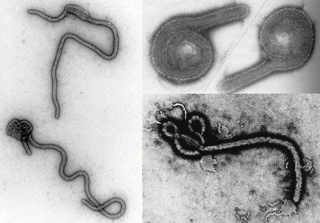 Estirpes do vírus Ebola