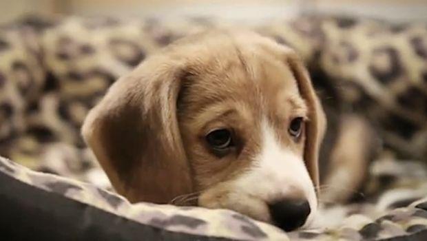 Sinais e sintomas de depressão cão, causas e tratamentos