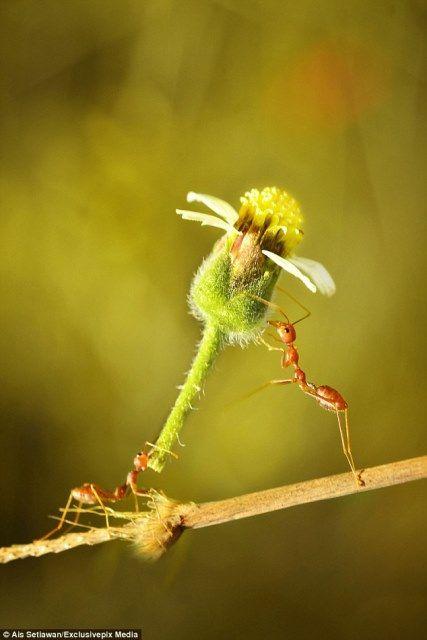Pouco formiga vermelha prova que as flores nunca estão fora de moda!