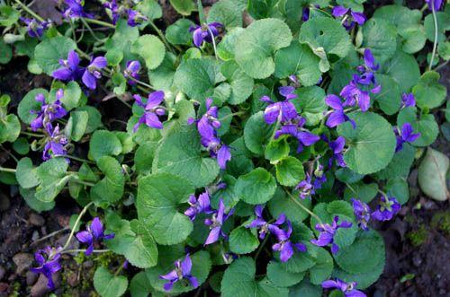 Recado livrar de violetas selvagens