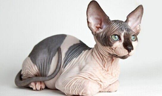 raças raras de gatos