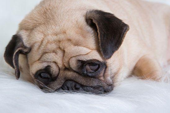 O stress em cães