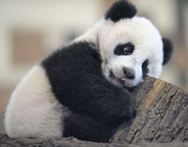 Panda Top 15 Facts