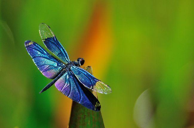 O que libélulas comer?