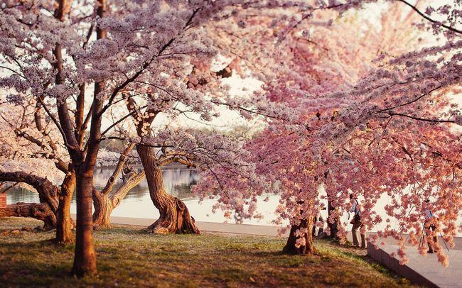 Onde você pode Apreciando a flor de cerejeira?